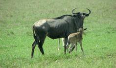 Nuccio_Tanzania_Gnu_nascita_small