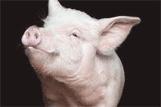 Pig_image