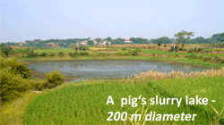 Pig_slurry_lake_small