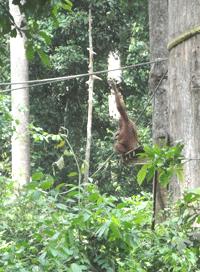 Gorilla_Foto-Borneo-Mamma-(858)