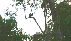 Scimmie_hornbill_Foto-Borneo-Gloria-(807)